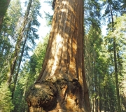 Sequoia-17