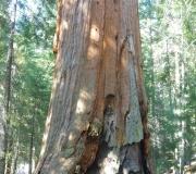 Sequoia-18