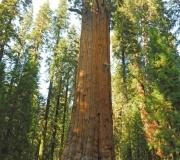 Sequoia-20