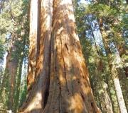 Sequoia-25