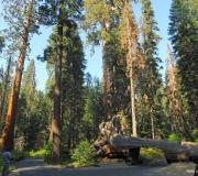 Sequoia-38
