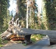 Sequoia-41