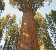 Sequoia-23