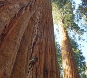 Sequoia-45
