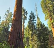 Sequoia-48