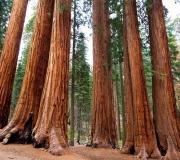 Sequoia-49