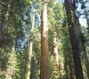 Sequoia-15