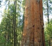 Sequoia-19