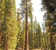 Sequoia-24