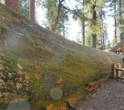 Sequoia-31