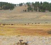 Yellowstone-59